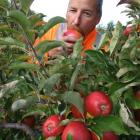 Plant and Food Research Earnscleugh orchard manager Alister O'Brien tries one of the new Envy...