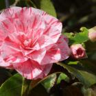 Plant early-flowering camellias where they can be appreciated in late winter. Photo by Gillan Vine.