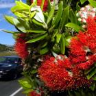 Pohutukawa in bloom... A species worthy of protection? Photo by Gerard O'Brien.