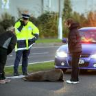 Police attend to an injured seal after it was hit by a car in Portsmouth Dr, Dunedin, yesterday...
