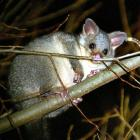 Possum control in Otago is helping reduce the incidence of bovine tuberculosis. Photo by Stephen...