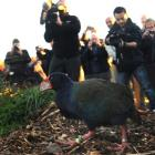 Quammen the takahe sets out to explore his new home in  the media glare yesterday. Photo by Peter...