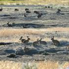 Rabbits in large numbers near Queensberry in 2013. Photo by Stephen Jaquiery.