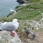 Red-billed gulls and chicks nest along with hundreds of others at Taiaroa Head. Photo by Gerard O...