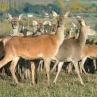 red_deer_25042013.JPG