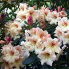 Removing dead heads from rhododendrons and azaleas will result in better displays. Photo by...