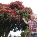 Rex Dunlop (69),  of  Oamaru, marvels at a pohutukawa  in full bloom. Photo by Andrew Ashton.