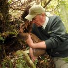 Robin Thomas from Doc releases a Haast tokoeka kiwi into a burrow at the Orokonui Ecosanctuary on...