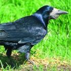 Rooks, which are pests, have been reported in many parts of Otago. Photo: ORC.