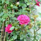 Roses like manure.