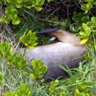 Ruby the sea lion takes a nap in bushes next to Kettle Park, in St Kilda, Dunedin. Photo by...