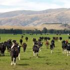 Sale of Fonterra wet shares will aid the economy. Photo by Stephen Jaquiery.