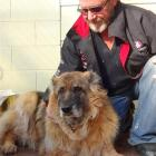 Sasha the German shepherd has a new home with Robin Laing at the Waikouaiti Tavern and Motels,...