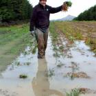 Sawyers Bay market gardener Ray Goddard is struggling with the mud as he harvests his carrots....