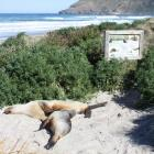Sea lions at Allans Beach. Photo from DOC.