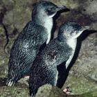 Set nets present a big threat for both yellow-eyed penguins and little blue penguins.