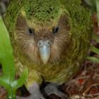 Sirocco, the kakapo, who will be at the Orokonui Ecosanctury from September 3 to 26. Photo by DOC.