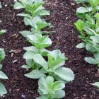 Sow broad beans now for an early crop.