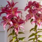 Stargazer lilies in all their glory.  Photo supplied.