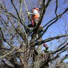 Stephen Holden (left) and Godfrey Fitzpatrick work on one of the World War One memorial oaks at...