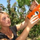 Summerfruit Orchards apricot harvest production manager Whitney Affleck uses her sizing card to...