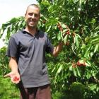 Summerfruit Orchards orchard manager Tim Hope with Sonnet cherries almost ready for picking....