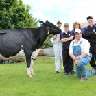 Supreme champions . . . Kailey Goldwyn Pom Pom, of Kailey Dairies in oamaru laps up the attention...