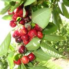 Sweetheart cherries about a week away from harvest have been split by recent heavy rain. Photo by...