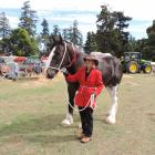 Te One, a rising-4 Clydesdale showed by Sharon Chambers of Kakanui, North Otago, won the ribbon...