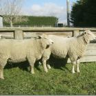 The Charollais sheep breed will be showcased at a ram open day at Cave next week. Photo supplied.