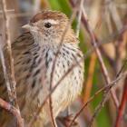 The fernbird (matata). Photo by Paul Sorrell.