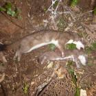 The mother stoat and one kit after having been caught leaving the den. Photo: Supplied