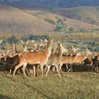The New Zealand Deer Farmers Association is concerned about the implications for the deer...