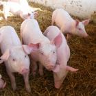 The New Zealand pork industry says backyard pig farmers may inadvertently put biosecurity at risk...