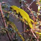 The pregnant Auckland green gecko at Kiwi Birdlife Park. Photo by Christina McDonald.