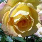 The rose Gold Medal, which, with its pink-edged petals, is not really true to its name. Photo by...