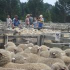 The scene at  last year's  Hawarden Ewe Fair two-tooth sale. This year's ewe fair, scheduled for ...
