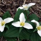 The snow trillium (T. nivale) is one of the smallest species. Photo by Gillian Vine.