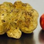 The world's largest white truffle has sold for nearly £40,000 at auction. Photo: Sotherby's