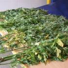 These 13 plants are part of a haul of dried cannabis and plants recovered by police in the...