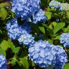 This is the best time to take hydrangea cuttings.