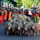 Thousands of people lined Queenstown's Beach St yesterday afternoon to watch the Running of the...