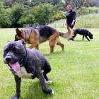 Time to run ... Dog Rescue Dunedin dog handler Keryn Aitken exercises a group of dogs at...