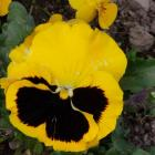 To ensure good blooms and a long display of pansies and violas, well-worked, liberally-manured...