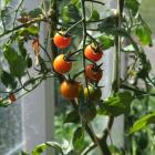 Tomatoes can now be planted in unheated greenhouses. Photo by Gillian Vine.