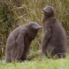 Two 6-week-old yellow-eyed penguin chicks at Penguin Place on Otago Peninsula. Photo by Gerard O...