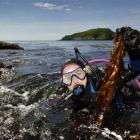 University of Otago marine sciences masters student Angela Rowe holds undaria seaweed removed...