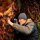 University of Otago masters student Dan Barrett on the hunt for a peripatus specimen (left) in a...
