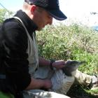 University of Otago wildlife management student Matt Conley checks a yellow-eyed penguin that had...