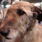 up_to_three_irish_wolfhounds_attacked_a_woman_in_d_565e56bf6a.jpg